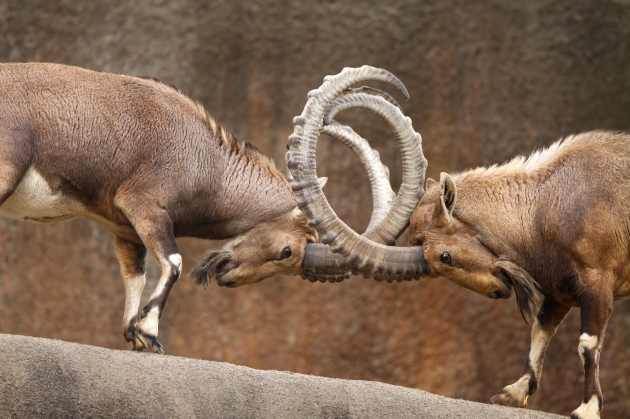 Wild Goats Fighting